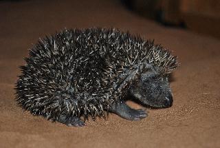 Hedgehog Orphan